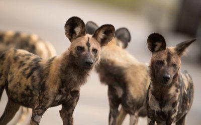 Painted Dogs Love our Cardboard Cores